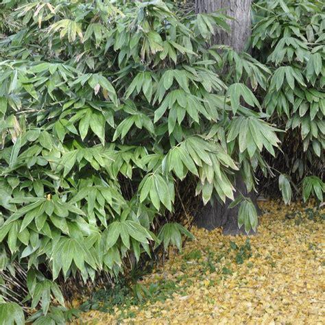 jardin nebulosa petit bambou sasa palmata nebulosa lot de 2