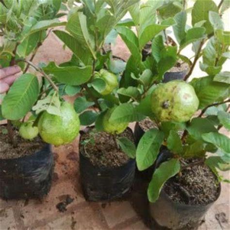Bibit Mangga Alpukat Trubus jual bibit tanaman buah 0878 55000 800 kami toko jual