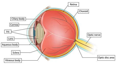 retina diagram what are retinal tears or detachments and what should i do