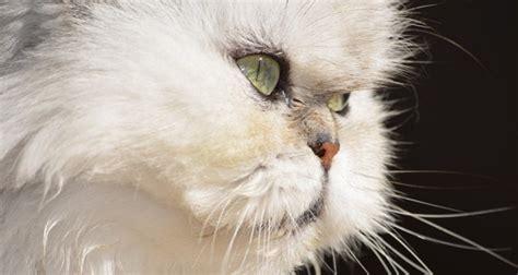 merawat kucing persia  benar hingga umur