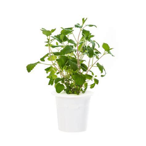 thyme plant herb plants edible garden  home depot