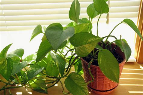 plants that are poisonous to dogs 10 household plants that are dangerous to dogs and cats