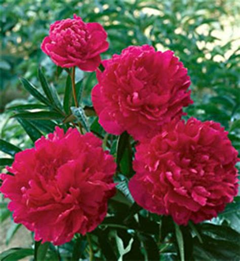 Felix Crousse Peony - 1 root division 1 800 Flowers Reviews