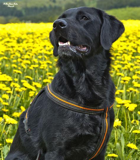 Labrador Retriever - Hunderasse L - Hundeseite.de