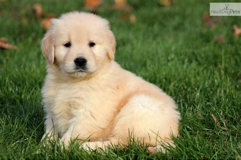 Golden Retriever Puppy For Sale Near Lancaster Pennsylvania 65a41c57 Dd91