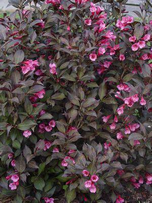 weigela florida wine roses wine roses weigela