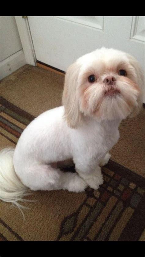 shih tzu mohawk haircut roxyy my shih tzu after new haircut my shih tzu new haircuts