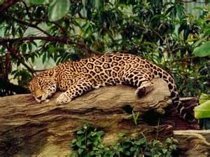 Jaguar What Do They Eat Jaguars Thinglink