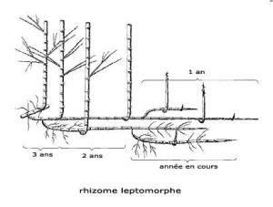 Bambou Non Tracant Croissance Rapide