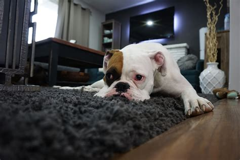 best carpet for bedrooms with dogs free images white home puppy animal cute canine