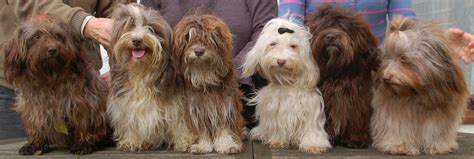 havanese forums german havanese color website page 3 havanese forum havanese forums