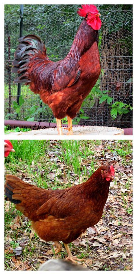 Backyard Laying Chickens Best 25 Rhode Island Ideas On Thousand Island Chicken Image Island Chicken