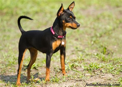 mini pinscher miniature pinscher puppies rescue pictures information temperament