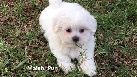 maltese mixed with shih tzu for sale gorgeous white malshi or maltese shih tzu pup for sale in florida michelines pups