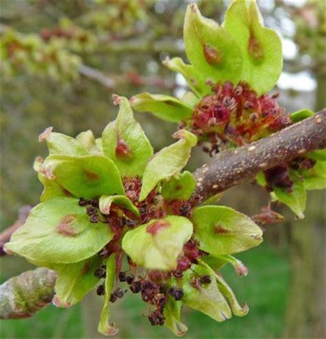 elm tree fruit elm tree statue tree