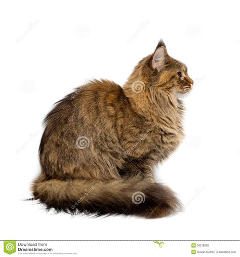 Cat Breed Maine Coon. Portrait In Profile Stock Photo