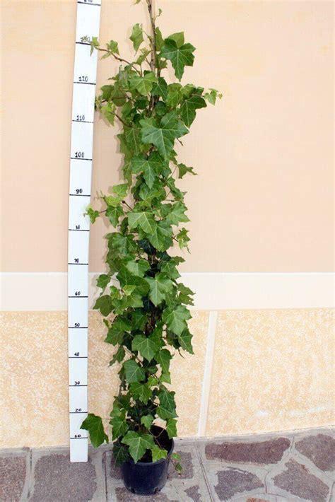 edera fiore edera vendita piante on line solopiante it