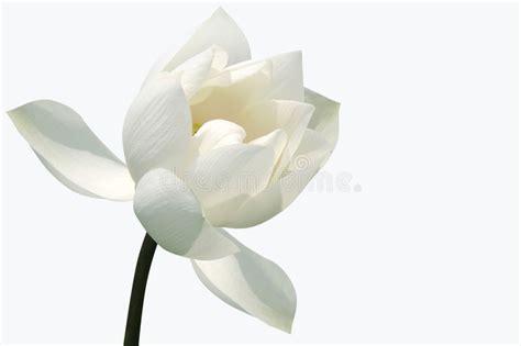 fiore di loto bianco fiore loto bianco immagine stock immagine di nave