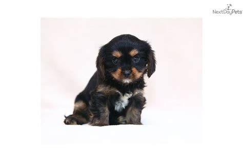 king charles yorkie puppies for sale terrier yorkie puppy for sale near reading pennsylvania 0e154dfd 8311
