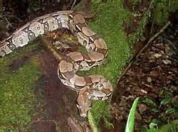 Jaguar Cxn Pin Jaguar Im Amazonas Regenwald Brasilien