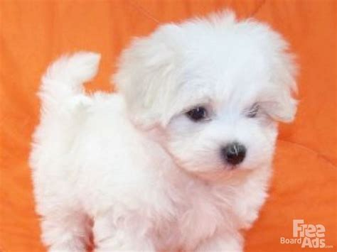 micro teacup maltese puppies for sale tiny teacup maltese puppies for adoption maltese dogs puppies breeds picture