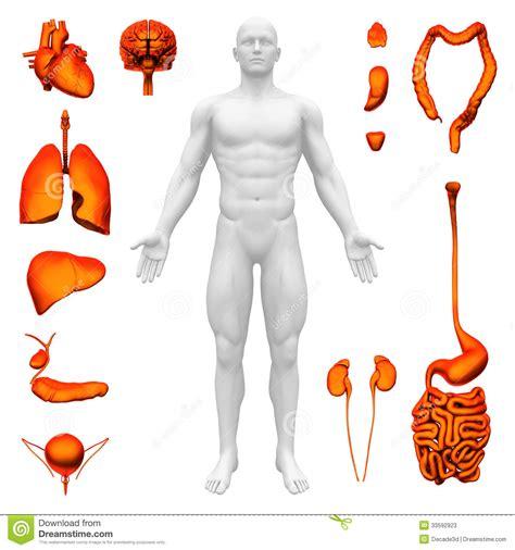 innere organe mann innere organe menschliche anatomie stock abbildung