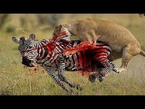 african mating ritualsvideos african animals the lion mating wild animals 2016