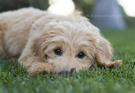 goldendoodle puppy breathing fast san diego pet photography archives san diego pet