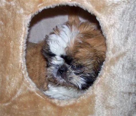 shih tzu follows me everywhere daffy the shih tzu puppies daily puppy