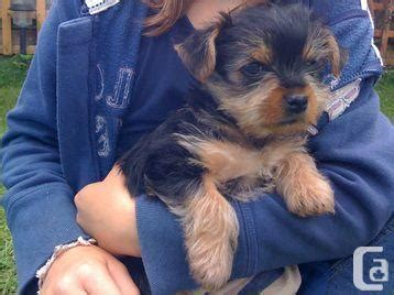 yorkies for sale edmonton yorkie puppy needs a new home edmonton for sale in edmonton alberta classifieds