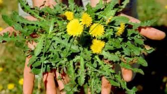Garden Pest Identification - edible weeds dandelion nasturtium gotu kola