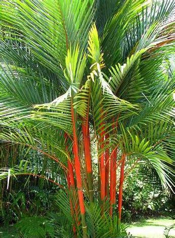 Tanaman Palem Komodoria Pohon Palem Komodoria Tanaman Bisa Indoor tanaman palem merah lipstick palm jual tanaman hias