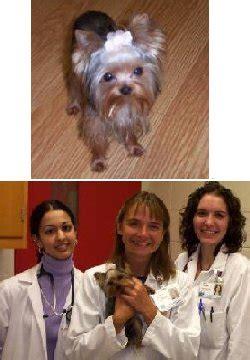 yorkie liver shunt symptoms terrier rescue