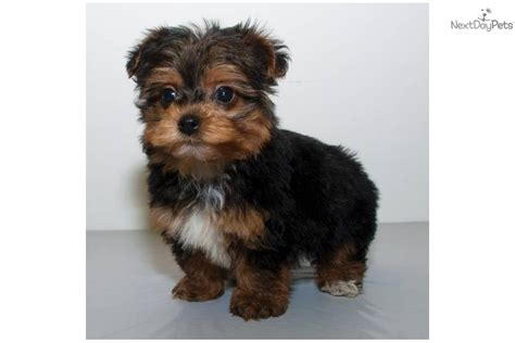 teacup yorkie characteristics yorkipoo puppies for sale breeds picture