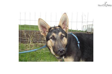 german shepherd wolf mix puppies for sale german shepherd wolf hybrid puppies for sale breeds picture