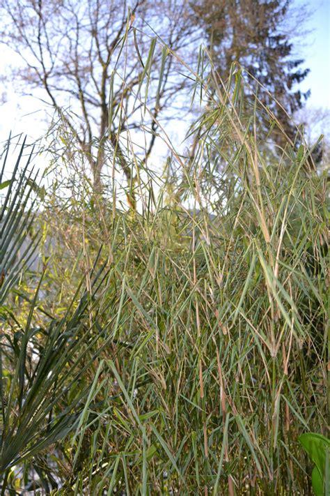 bambus winter bambus im winter bambus wissen