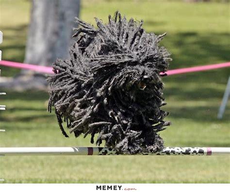 a black komondor memey com