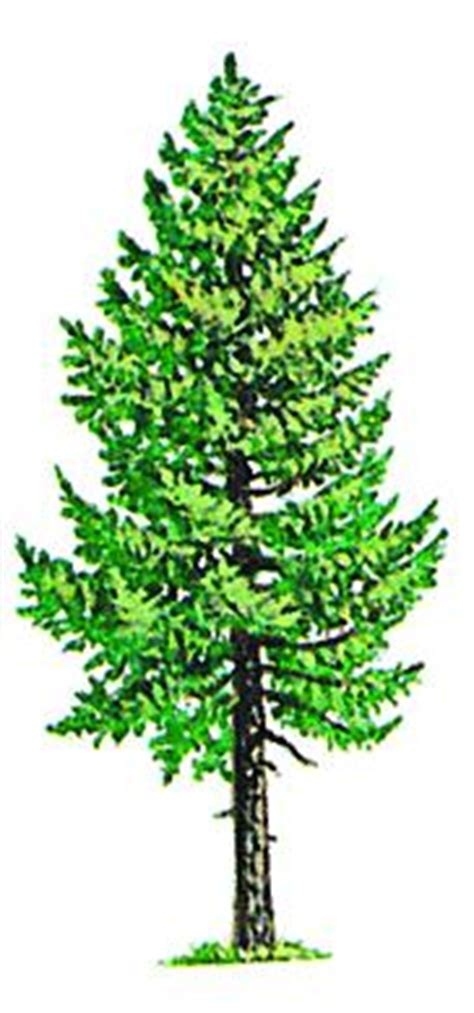 douglas fir tree drawing www pixshark com images