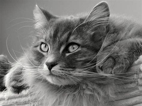 alimentazione corretta gatto alimentazione gatto siberiano la dieta corretta