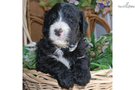 sheepadoodle puppies for sale pa shepadoodle puppy for sale near cornwall ontario 15370de1 5431