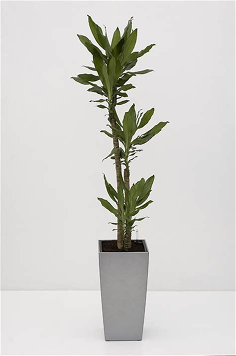 tall house plants best tall indoor plants best trees for indoor use going home to roost 18 best large