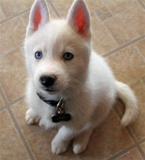 how much are siberian husky puppies loki the siberian husky puppies daily puppy