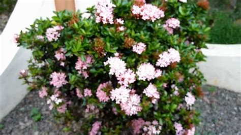ixora flower pink plant no 1 youtube