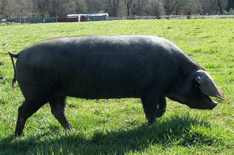 large black large black and tamworth x large black weaner pigs sale