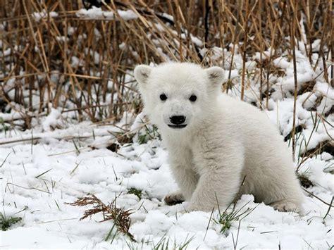 imagenes de osos wallpaper oso polar auto design tech