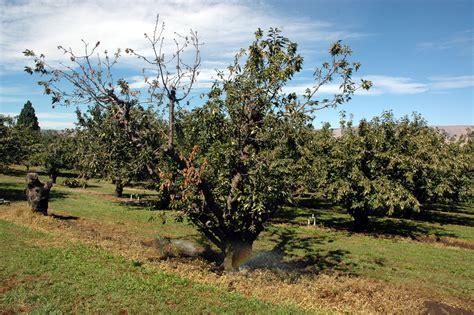 plum line pattern virus cherry prunus spp virus induced cherry decline