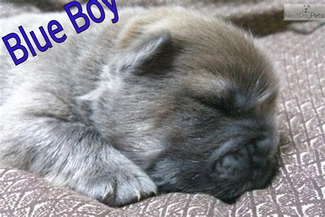 chow chow puppies for sale near me chow chow puppy for sale near fort wayne indiana 6aca7f31 0ca1