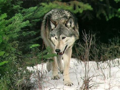 of a wolf wildearth guardians say kill utah bill not it s wolves