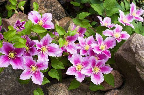 clematis fiore di bach fiore di bach clematis per chi sogna a occhi aperti