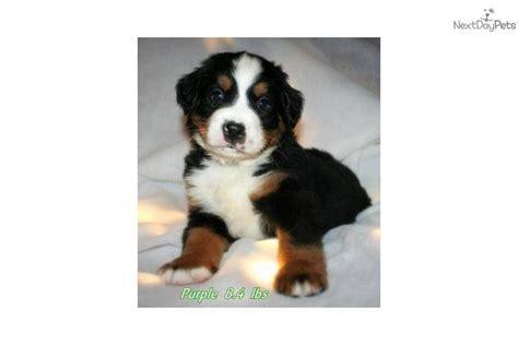 bernese mountain puppies wi bernese mountain puppy for sale near sheboygan wisconsin c25d99e2 76e1